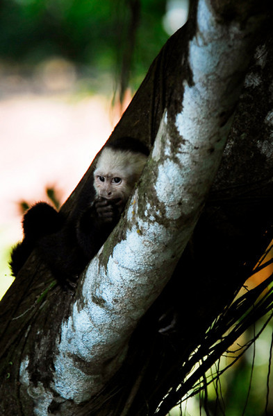 capuchin monkeys manuel antonio national park costa rica wildlife photography nature photography corcovado national park