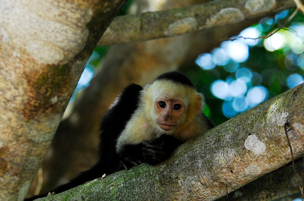 capuchin monkey wildlife photograph